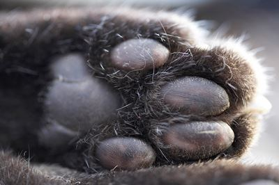 Abstract of feet of dead Scottish wildcat, Scotland