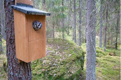 Tengmalms owl peering out of nestbox,  Bergslagen, Sweden.