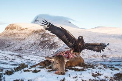 Golden eagle feeding on red deer carcass, Assynt, Scotland.