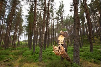 Pine marten foraging in pine forest in summer, Scotland.