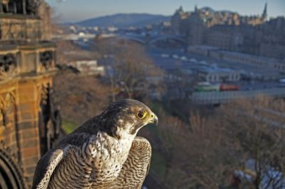Peregrine Falcon in urban setting, Edinburgh. (c)