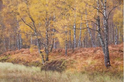Autumnal birches, Craigellachie National Nature Reserve, Scotland.