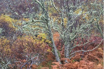 Mixed woodland in late autumn, Drumbeg, Sutherland.