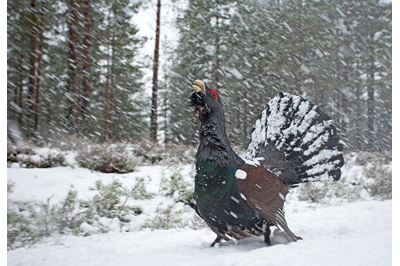 Capercaillie male displaying in blizzard, Cairngorms NP, Scotland.