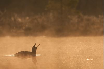 Red-throated diver at dawn on mist-laden lake, Bergslagen, Sweden.