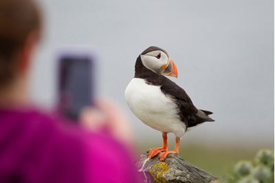 Tourist photographing puffins, Shetland.