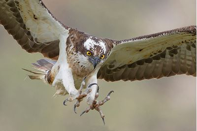 Osprey in flight, Cairngorms NationalPark, Scotland.