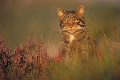 Scottish wildcat in evening light, Glenfeshie, Scotland.