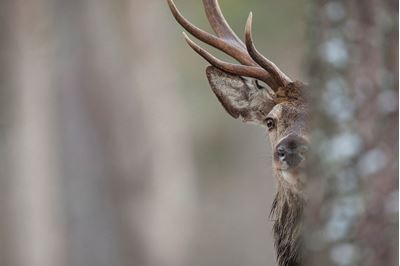 Red deer stag in pine woodland, Cairngorms NP, Scotland.