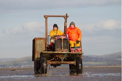 Cockle fishermen working in Morecambe Bay, Cumbria.