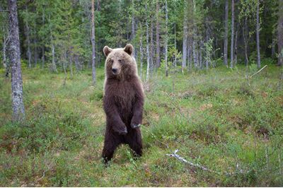 European brown bear in native forest, Eastern Finland.
