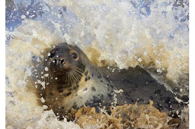 Grey seal frolicking in surf, Lincolnshire, England.