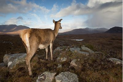 Red deer hind in west Highland landscape, Lochcarron, Wester Ross, Scotland