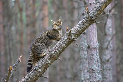 Scottish wildcat climbing fallen tree in pine forest, Cairngorms National Park, Scotland.
