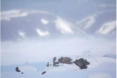 Ptarmigan in winter landscape, Cairngorms NP, Scotland.