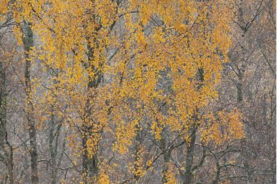Section of autumnal birch woodland at dawn, Glenfeshie, Scotland.