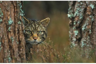 Scottish wildcat peering around tree, Scotland.