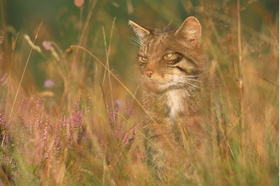 Scottish wildcat in grassland, Glenfeshie, Scotland.