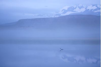 Red-throated diver on misty lake, north Iceland.