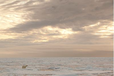 Polar bear wandering on pack ice, Svalbard, Norway.