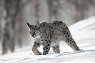European Lynx adult female walking through winter birch forest. Bardu, Norway (c)
