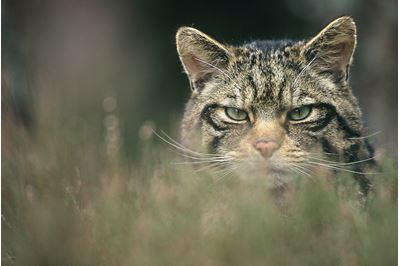 Scottish wildcat in heather, Glenfeshie, Scotland.