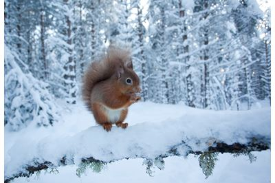 Red squirrel in winter pine forest, Cairngorms NP.