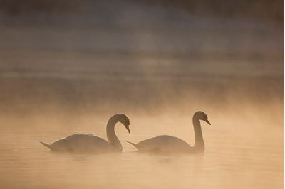 Mute swan pair in winter dawn mist, Loch Insh, Cairngorms NP..