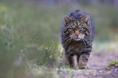 Scottish wildcat stalking along track in pine forest, Cairngorms National Park, Scotland.