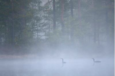 Red-throated divers at dawn on mist-laden lake, Bergslagen, Sweden.