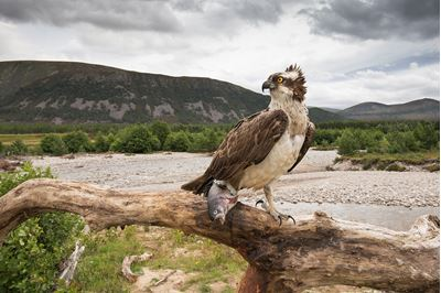 Osprey perched with fish, Glenfeshie, Scotland.