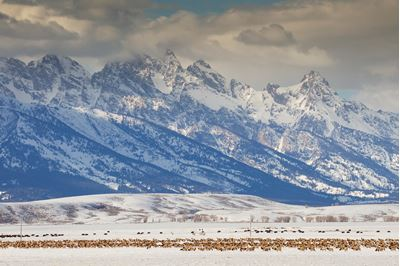 Procession of migrating elk and bison through the National Elk Refuge, Wyoming, USA