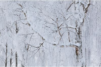 Silver birch woodland in winter, Scotland.
