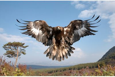 Golden eagle sub-adult female in flight, Cairngorms National Park, Scotland (c).