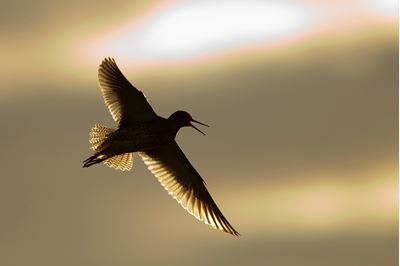 Redshank backlit in flight, Western Isles, Scotland.