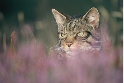 Scottish wildcat in flowering heather, Glenfeshie, Scotland.
