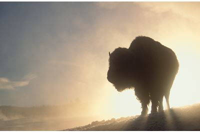 Bison silhouetted at dawn in winter, Yellowstone NP, USA