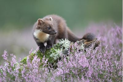 Pine marten in flowering heather, Cairngorms, Scotland.