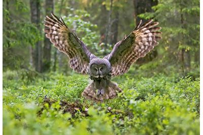 Great grey owl in flight in boreal forest, Finland.