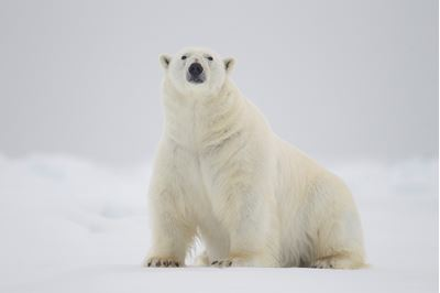 Polar bear male sitting on ice floe, Svalbard, Norway.