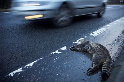 Roadkill Scottish wildcat, Cairngorms National Park, Scotland