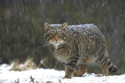 Scottish wildcat in snowfall, Glenfeshie, Scotland.