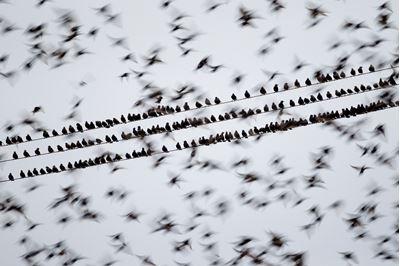 Starlings en masse, Solway Firth, Scotland.