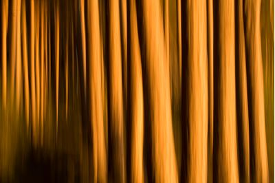 Abstract of pine forest lit by winter sun, Scotland.