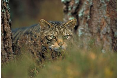 Scottish wildcat stalking through pine forest, Scotland.