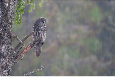 Great grey owl in summer downpour, Bergslagen, Sweden.