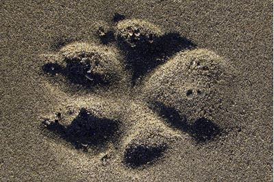 Footprint of wolf in sand, Alaska.