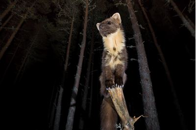 Pine marten in woodland at night, Glenfeshie,Scotland.