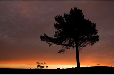 Scots pine silhouetted at sunrise, Scotland.