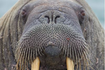 Walrus close up, Svalbard, Norway..